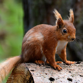 Red Squirrel by Lesley Hudspith - Animals Other Mammals ( red, ear tufts, tail, squirrel, animal )