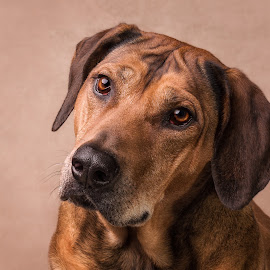 Rooby by Linda Johnstone - Animals - Dogs Portraits ( brown fur, animals, pet photography, dogs, pet portraits, rhodesian ridgebacks )