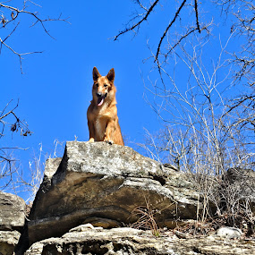 Looking Down On You by Kristen O'Brian - Animals - Dogs Portraits ( hill, looking down, corgi, puppy, dog, rocks, belgian sheperd )