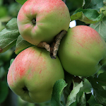 apple wallpapers Apk