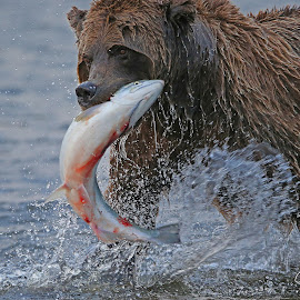 A Fresh Catch! by Anthony Goldman - Animals Other Mammals ( water, bear, wild, nature, predator silver salmon, alaska, action, catch, lake clark, wildlife, spalsh, mammal )