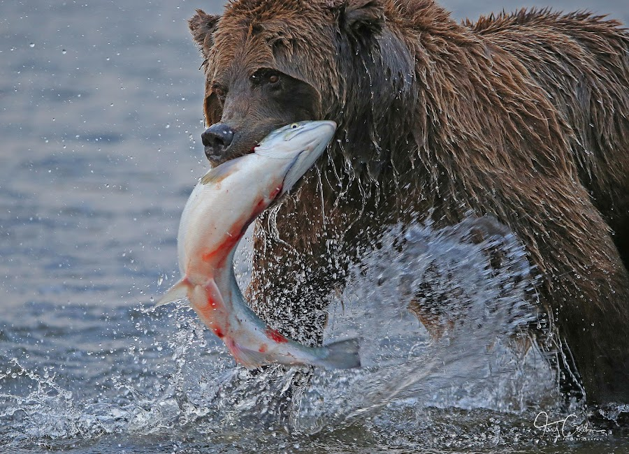 A Fresh Catch! by Anthony Goldman - Animals Other Mammals ( water, bear, wild, nature, predator silver salmon, alaska, action, catch, lake clark, wildlife, spalsh, mammal,  )