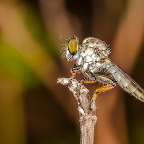 RobberFly by Asher Lwin - Abstract Macro ( macro, nature, fly, closeup, robberfly )