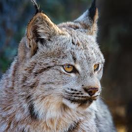 Lynx by Dave Lipchen - Animals Other Mammals ( lynx )