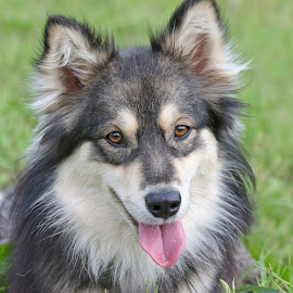 All grown up by Mia Ikonen - Animals - Dogs Portraits ( canine, finnish lapphund, gentle, pet, faithful, beautiful, finland, summer, dog, cute, mia ikonen )