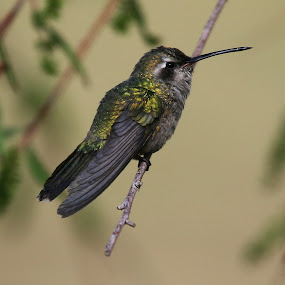 colibri by Cristobal Garciaferro Rubio - Animals Birds ( bird, colibri, leav, pwcmovinganimals-dq, leaves, golden bird )