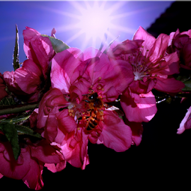 beeflower by Milo Jay - Animals Insects & Spiders ( flash, bees, magenta, nature, bee, colors, sunrays, insects, flowers )