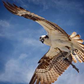 Nest building by Sandy Scott - Animals Birds ( flying osprey, birds of prey, opsrey, sea hawk, birds, raptors )