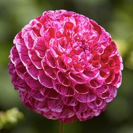 Dahlia 8873~ by Raphael RaCcoon - Flowers Single Flower