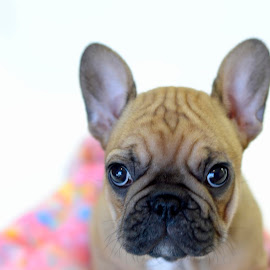What chou lookin at? by Janet Buddington - Animals - Dogs Puppies ( frenchie puppies,  )