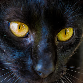 I'll pose for you by Jamie Hodge - Animals - Cats Portraits ( cat, cat eyes, yellow, black, black cat, eyes )