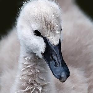 Baby Swan.jpg