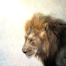 Lion King by Bjørn Borge-Lunde - Digital Art Animals ( wild animal, big cat, predator, lion, wilderness, nature, wildlife, africa, animal )