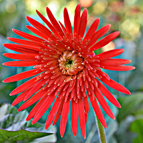 Striking Daisy by Jared Van Bergen - Nature Up Close Flowers - 2011-2013 ( photos, detail, red, nature, daisy, garden, photography )