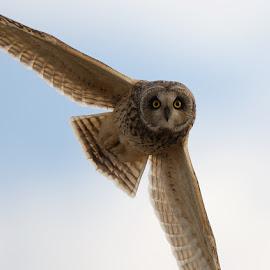 Im Watching You by Charlie Davidson - Animals Birds ( bird, scotland, wild, bird of prey, nature, owl, raptor )