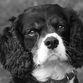 Cavalier Jack by Chrissie Barrow - Black & White Animals ( monochrome, black and white, pet, ears, fur, dog, nose, mono, eyes, animal )
