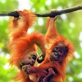 Hangging n Plays by Alit  Apriyana - Animals Other Mammals