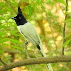 Indian paradise flycatcher- Male