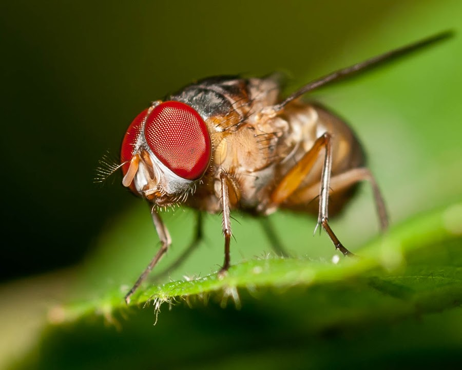 Fruit Fly by Yusoff Ahmad - Animals Insects & Spiders
