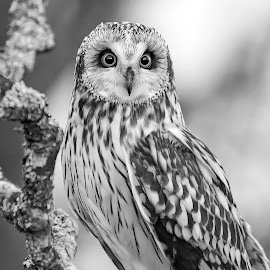 Short eared owl by Marius Birkeland - Black & White Animals ( bird, black and white, owl, raptor, animal )