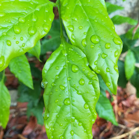 Greenest after the rain by Adoracion Bautista - Nature Up Close Leaves & Grasses ( raibdrops, leaves,  )