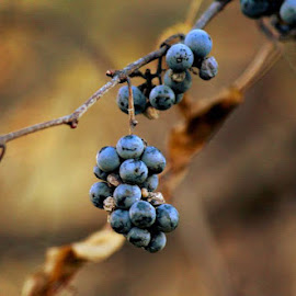 Grapes on a vine. by Roxane Vanelli - Nature Up Close Other plants