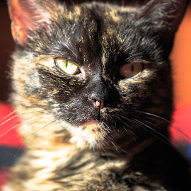 cat by Roberto Gonzalo Romero - Animals - Cats Portraits ( cat )