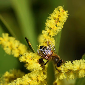 Bee on wattle by Amanda Daly - Novices Only Macro (  )