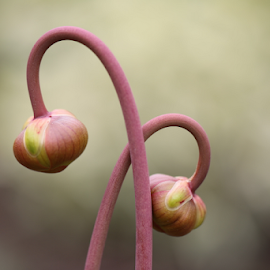 Entangled by Michael Schwartz - Flowers Flower Buds (  )