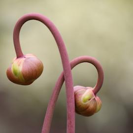 Entangled by Michael Schwartz - Flowers Flower Buds (  )