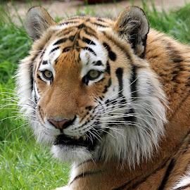 Tiger by Ralph Harvey - Animals Lions, Tigers & Big Cats ( tiger, wildlife, ralph harvey, marwell zoo, animal )