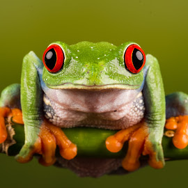 Red Eyed Tree Frog by Dawn Cotterell - Animals Amphibians ( macro, detail, frog, green )