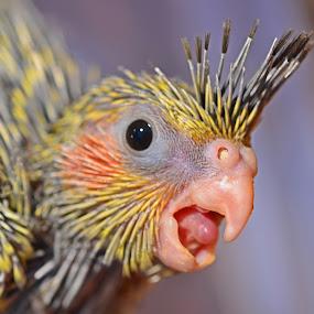 Say A! by Kamila Romanowska - Animals Birds ( bird, cockatiel, pet, parrot, baby, animal, , #GARYFONGPETS, #SHOWUSYOURPETS )