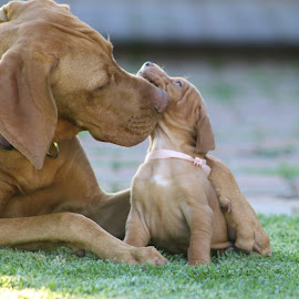 Roxy older sister of Vizsla puppy by Louisa Botha - Animals - Dogs Puppies ( puppies, sweet, outdoor, hungarian vizsla, play, puppy, vizsla, cute, dog, outside, animal )
