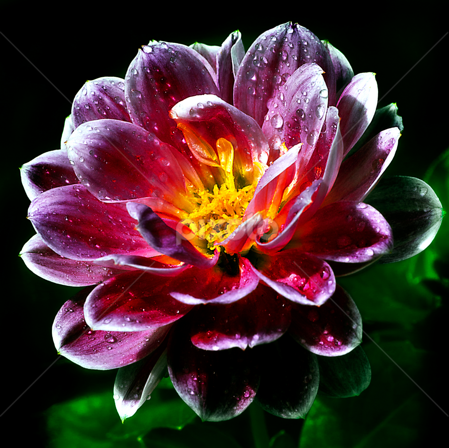 Dahlia by Peter Greenhalgh - Nature Up Close Flowers - 2011-2013 ( raindrops, pink, yellow, hybrid, dahlia, rain )