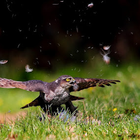 feathers fly by Wise Photographie - Animals Birds ( european sparrowhawk birds animals wise )