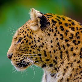 Leopard by Tony Hampel - Animals Lions, Tigers & Big Cats