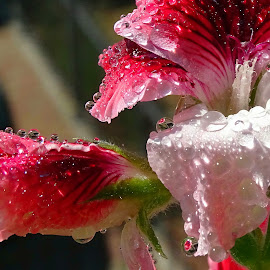 Gocce su un fiore con  riflessi by Patrizia Emiliani - Flowers Flower Gardens ( fiore, gocce, riflessi,  )
