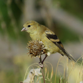 American Goldfinch  by Nick Swan - Animals Birds ( american goldfinch, nature, bird, finch, wildlife )