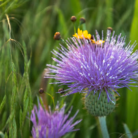 Purple Thistle by Kathy Suttles - Nature Up Close Other plants