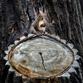 The last knight of the round table by Cretu Stefan Daniel - Animals Other ( craks, wild, wood, round, squirrel )