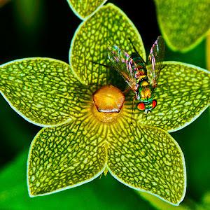 grn w rd eyes lng leg fly on prl mlkwd x.jpg
