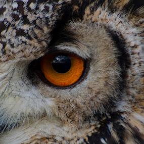 by Steven Stamford - Animals Birds ( bird, bird of prey, bubo bengalensis, nature, owl, raptor, indian eagle owl, eagle owl, animal,  )