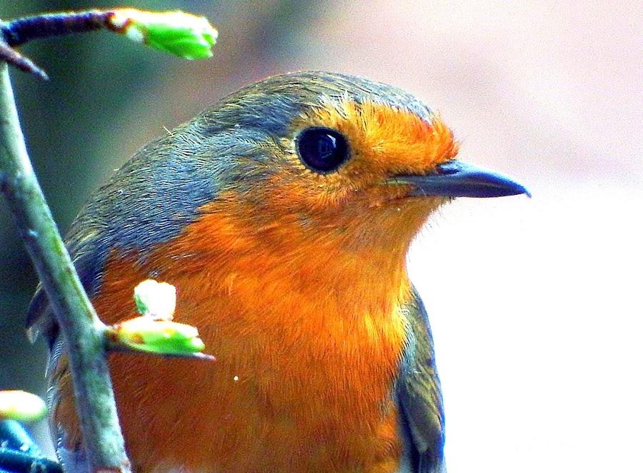 Spring robin  by Pat Regan - Animals Birds ( birds,  )