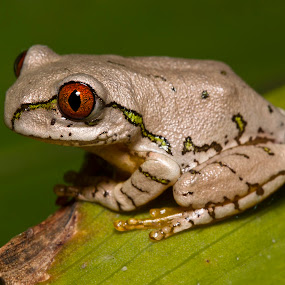 Natal Tree Frog by Simon Joubert - Animals Amphibians ( tree, kwazulu-natal, frog, juvinile, afromacro, south africa, amphibian, natal )