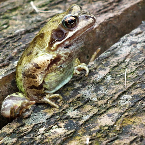 Frog by Mike Hawkwind - Novices Only Wildlife ( animals, frog, wildlife )
