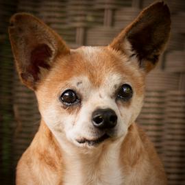 Carlitto by Myra Brizendine Wilson - Animals - Dogs Portraits ( carlitto, canine, pet, dog )