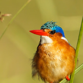 Waiting by Tobie Oosthuizen - Animals Birds ( malachite kingfisher, waterbird, kingfishers, birds, knp_des2011 )