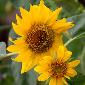 SUNFLOWERS by SANGEETA MENA  - Flowers Flowers in the Wild