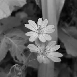 Цветя by Georgi Kolev - Black & White Flowers & Plants ( цветя., светлина., време., форми., листа. )